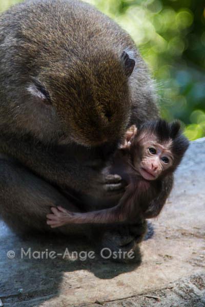 singe_macaque_Lombok_Indonesie-7902